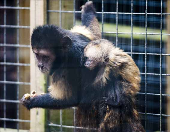 baby_capuchin4web