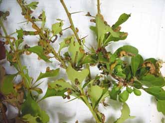 barberry-carpet-moth-1-web
