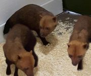 Bush dogs are back!