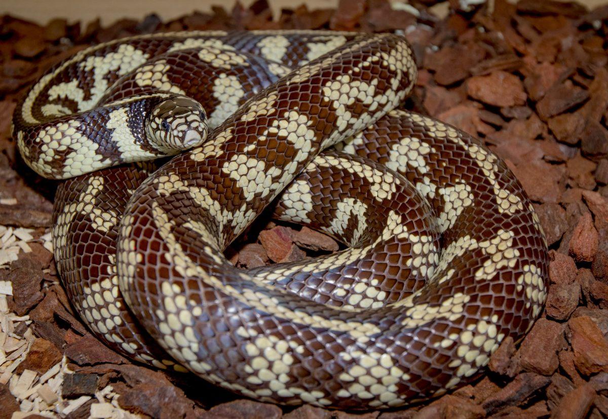 California King Snake