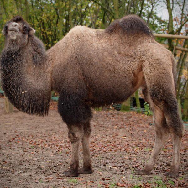 camel charlie