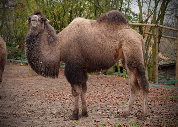 dzg_camel_scratcher_4_web