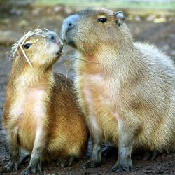 web_capybara_study