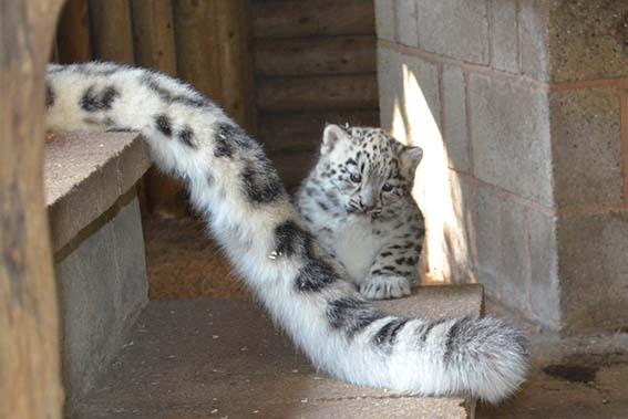 cub_x_tail_1
