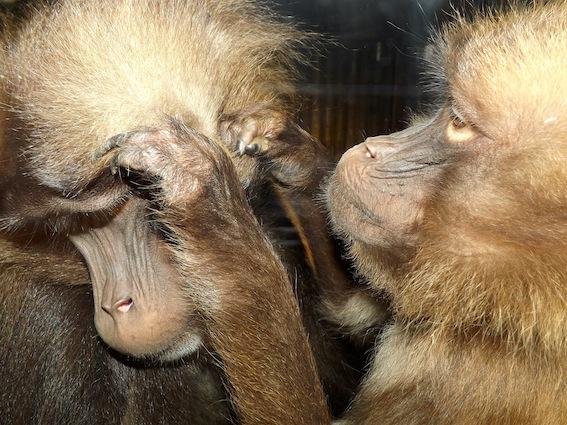 baboon_rr