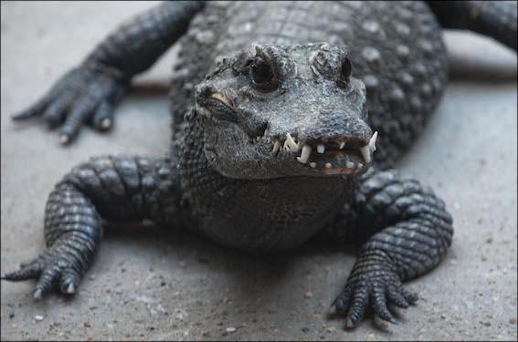 dzg_adopt_crocodile1