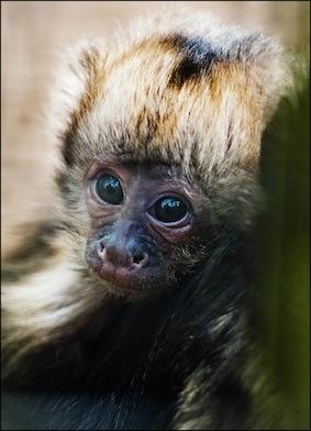 dzg_baby_capuchin_4