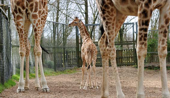 dzg_baby_giraffe_kito_1_web