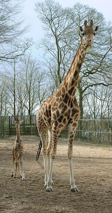 dzg_baby_giraffe_kito_2a_web_1_0