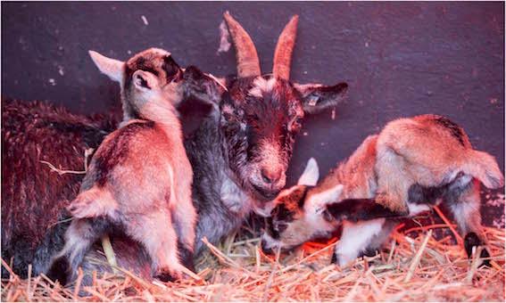 dzg_baby_goats_8