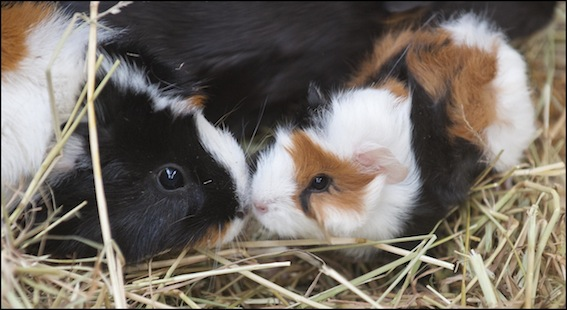 dzg_baby_guineapig_1