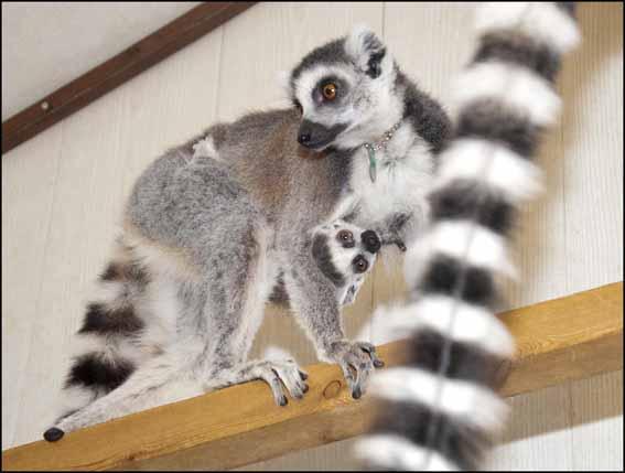 dzg_baby_lemur4