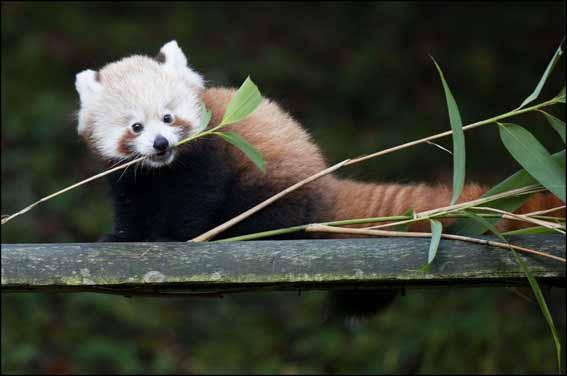 dzg_baby_red_panda2