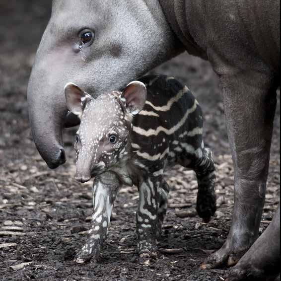 dzg_baby_tapir3web