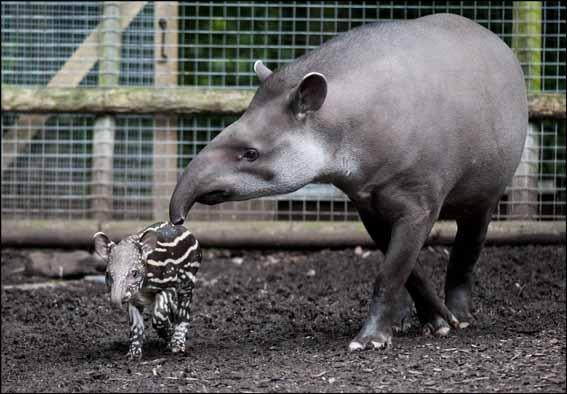 dzg_baby_tapir6_web
