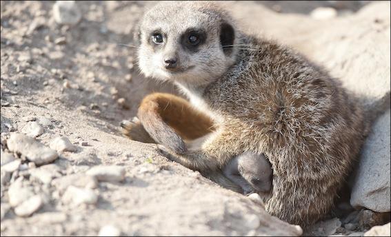 dzg_baby_tiny_meerkat1