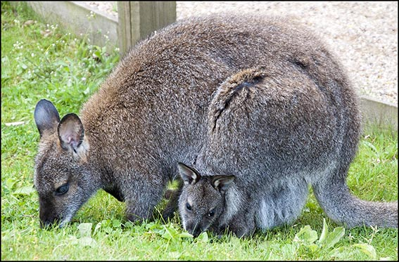 dzg_baby_wallaby_2