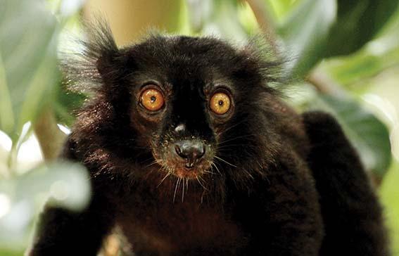 dzg_black_lemur_1