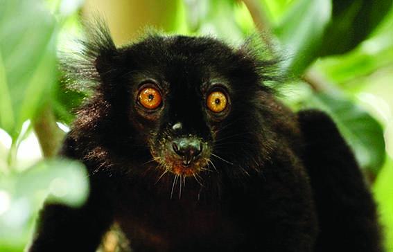 dzg_black_lemur_1_web_0