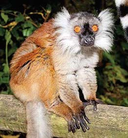 dzg_rich_black_lemur_1