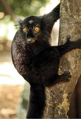 webdzg_rich_black_lemur_2