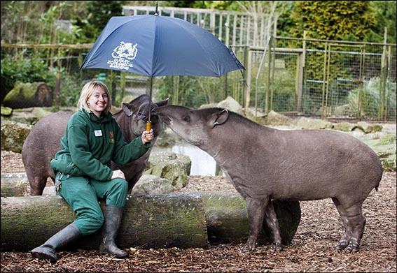 dzg_brolly_tapirs_4_0