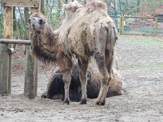 dzg_camels2_0
