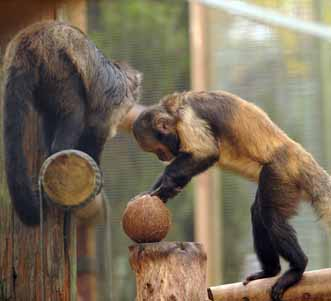 dzg_capuchins__4web_a