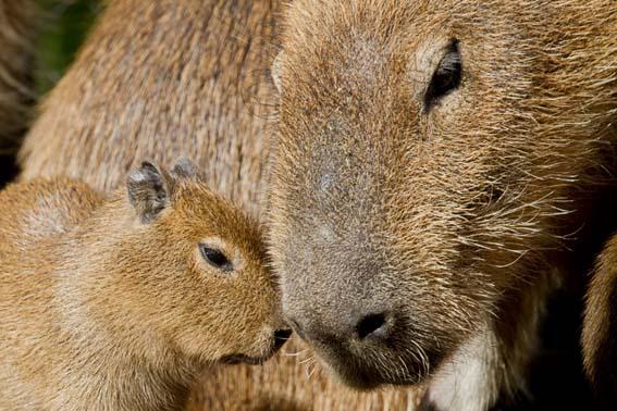 dzg_capybara_babe_4