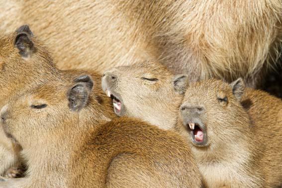 dzg_capybara_babe_7_0