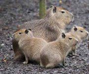 Capybara baby boom