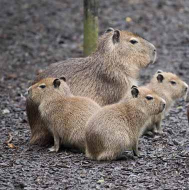 dzg_capybara_web