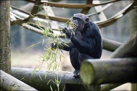dzg_chimps_bamboo_12_0