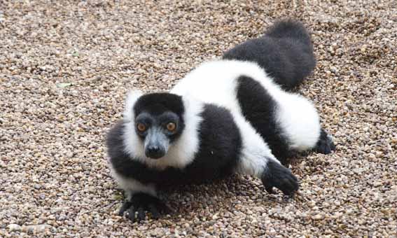 dzg_combat_lemur1