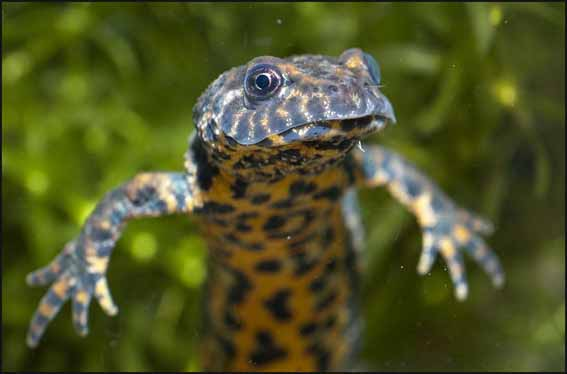 js_crested_newt_baby2