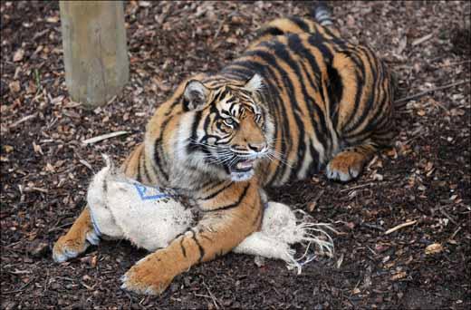 dzg_dads_tigers