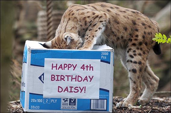 dzg_daisy_lynx_birthday_6_2