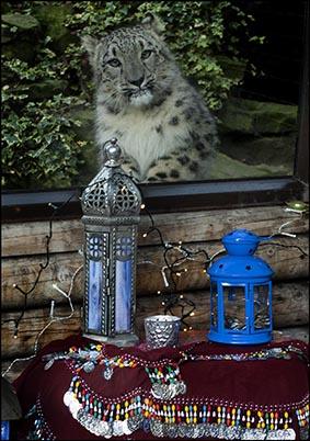 dzg_diwali_snow_leopards_3.web_
