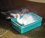 Ducks' daily dip