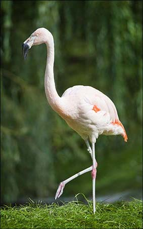 web_flamingoes_dek_