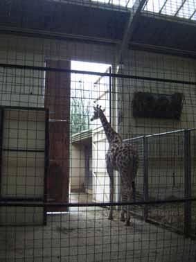 dzg_giraffe_door_1