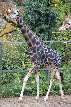 dzg_giraffe_kubwa_2