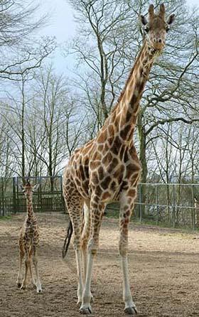 dzg_giraffe_webb_x