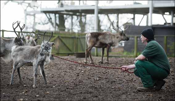 dzg_halter_training_reindeer9