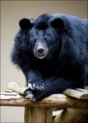 dzg_inca_bear_hibernate