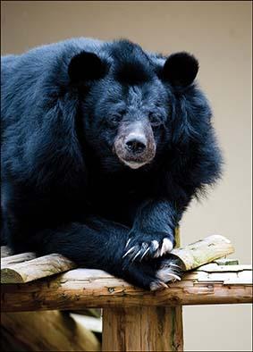 web_dzg_inca_bear1_2