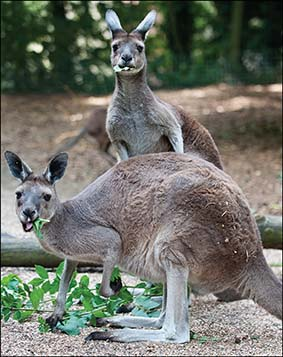 dzg_kangaroo_6web__0