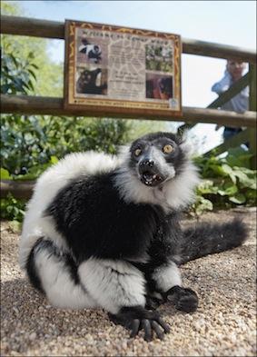 dzg_lemur_eli_2_0
