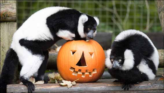 dzg_lemur_halloween2_web