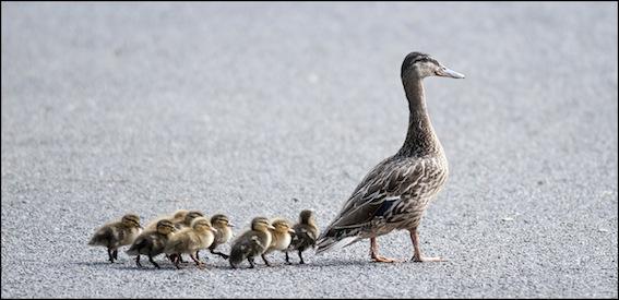 dzg_lost_baby_ducks_1_0